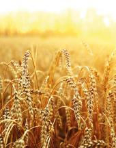 Pšenice ozimá katalog 2021